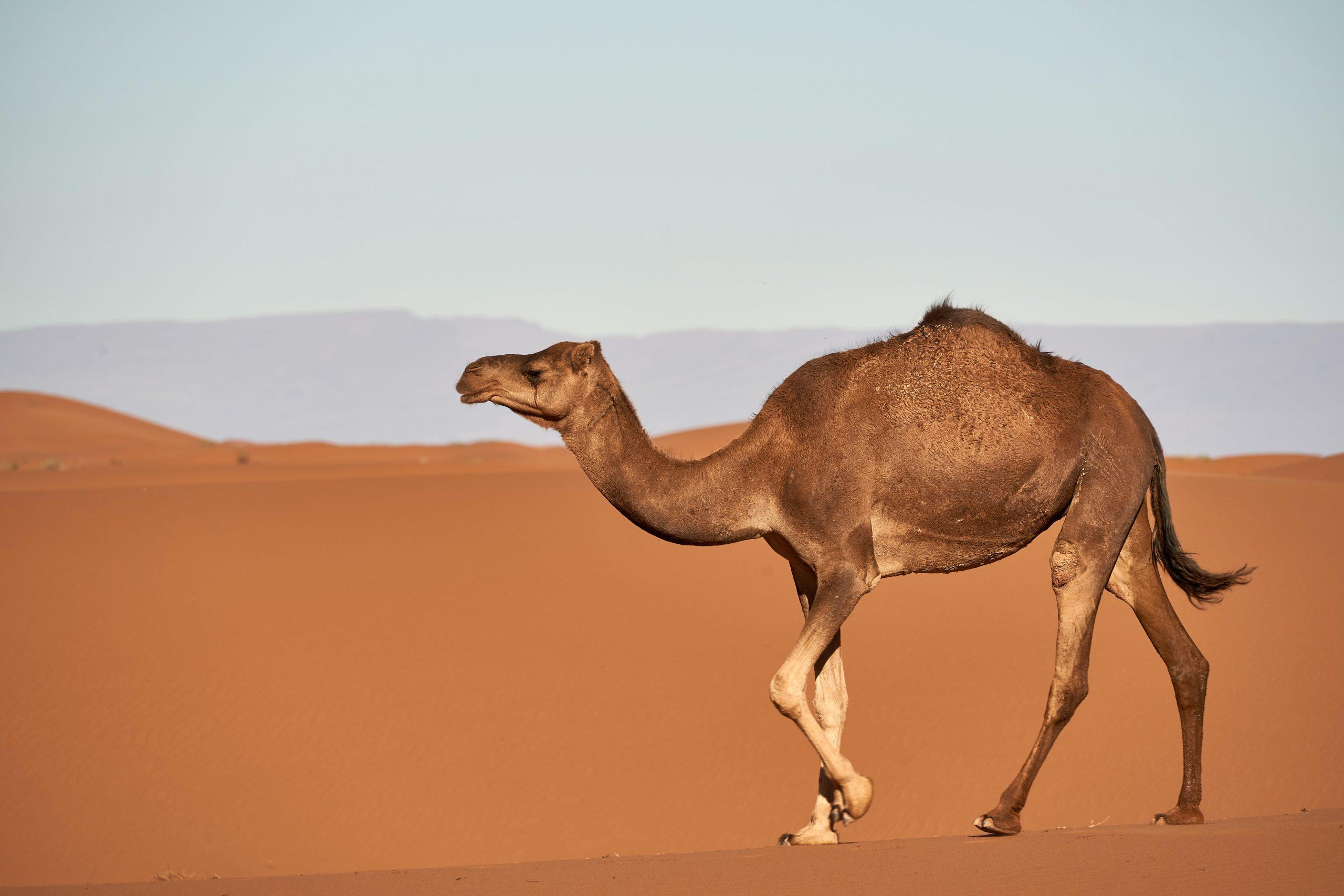 In 2021, business success belongs to camels not unicorns